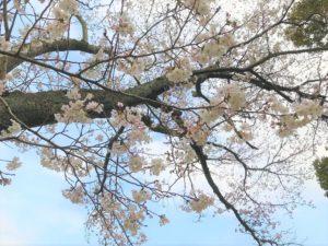桜の木を撮影した画像|高知市注文住宅SAI